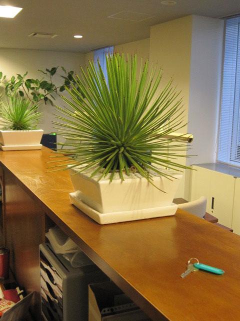スタイリッシュグリーン    ディスプレイ 観葉植物レンタル販売 アガベ・ストリクター吹上