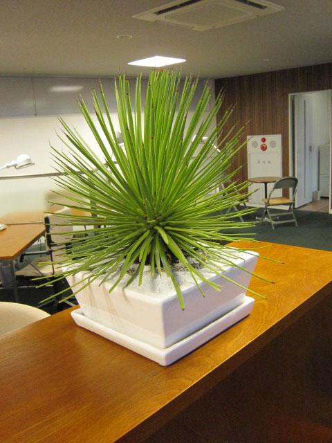 希少品  ディスプレイ 観葉植物レンタル販売 アガベ・ストリクター吹上
