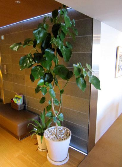 魅力的な観葉植物 ハスノハギリ 販売  グリーンレンタル